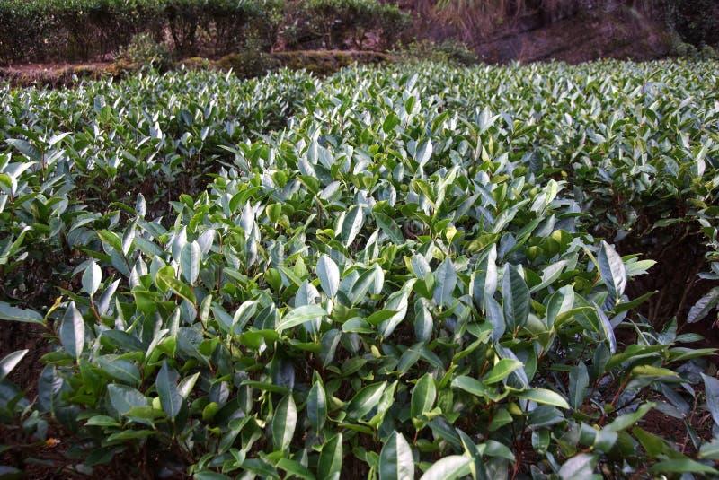Herbaciana plantacja w Fujian prowinci, Chiny obrazy royalty free