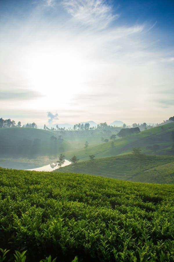 Herbaciana plantacja w ranku z rozjarzoną rzeką fotografia royalty free