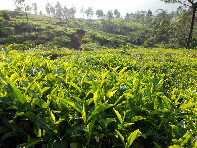 Herbaciana plantacja w ten sposób folował zieleń i życie fotografia stock
