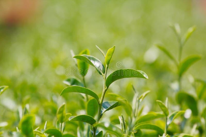 Herbaciana roślina (Kameliowy sinensis) zdjęcia royalty free