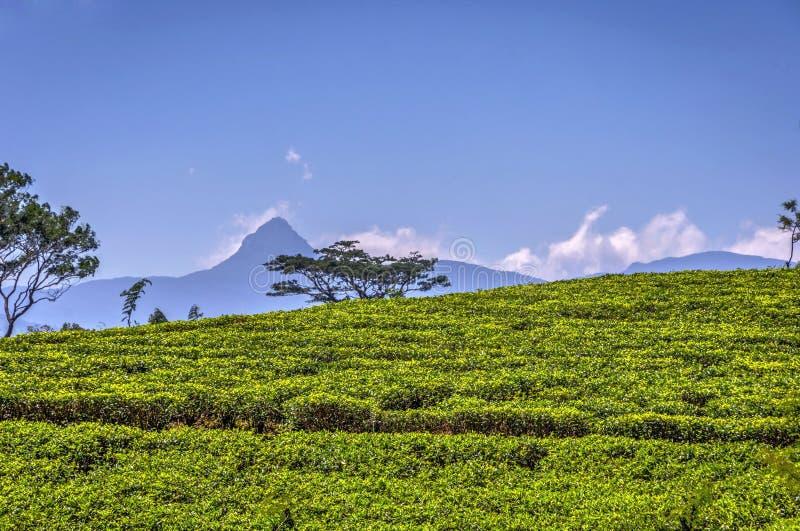 Herbaciane plantacje i Adams szczyt, Sri Lanka zdjęcie royalty free