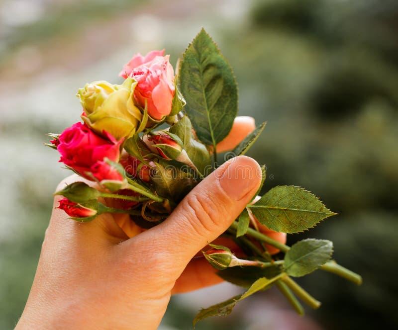 Herbaciane róże, mały bukiet w rękach natura fotografia royalty free