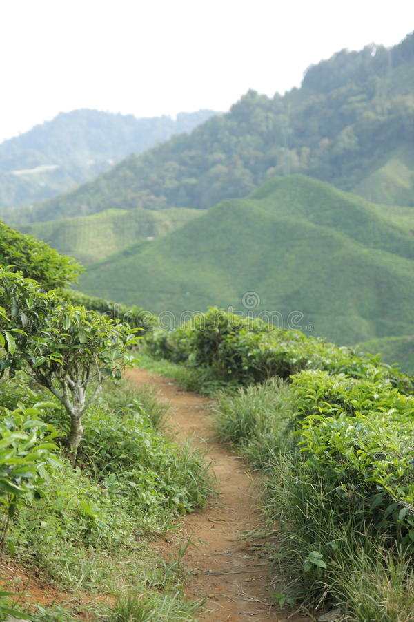 Herbacianej plantaci ścieżka zdjęcia royalty free