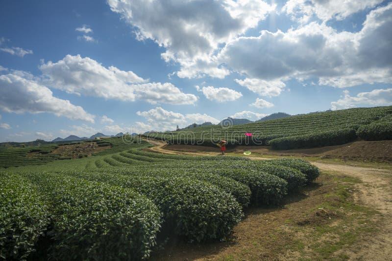 Herbacianej plantaci krajobraz na jasnym dniu Herbaty gospodarstwo rolne z niebieskiego nieba i bielu chmurami fotografia royalty free
