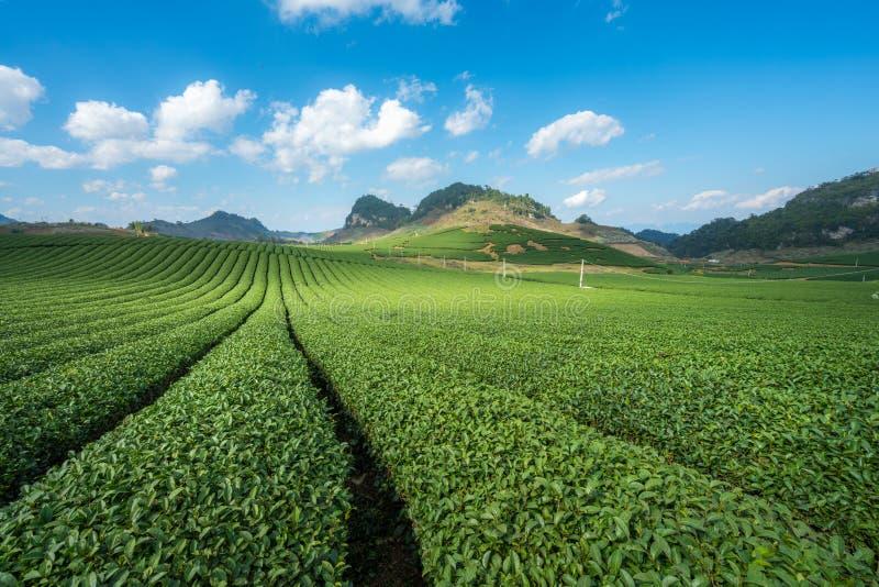 Herbacianej plantaci krajobraz na jasnym dniu Herbaty gospodarstwo rolne z niebieskiego nieba i bielu chmurami obraz royalty free