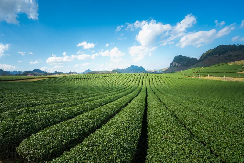 Herbacianej plantaci krajobraz na jasnym dniu Herbaty gospodarstwo rolne z niebieskiego nieba i bielu chmurami zdjęcia stock