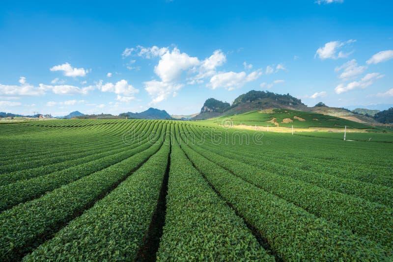 Herbacianej plantaci krajobraz na jasnym dniu Herbaty gospodarstwo rolne z niebieskiego nieba i bielu chmurami obrazy stock