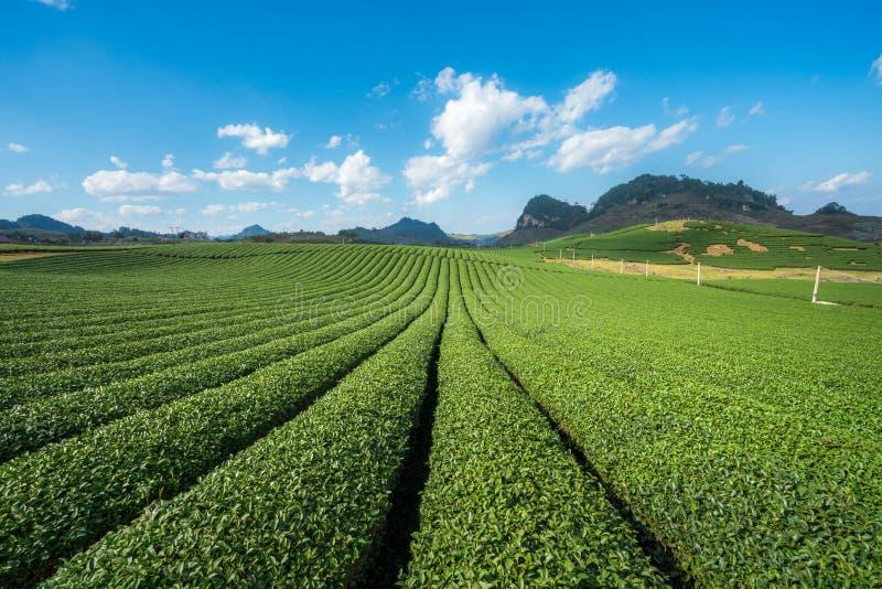 Herbacianej plantaci krajobraz na jasnym dniu Herbaty gospodarstwo rolne z niebieskiego nieba i bielu chmurami zdjęcie royalty free