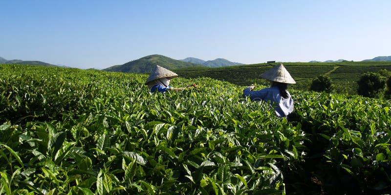Herbacianej plantaci pracownicy obraz royalty free
