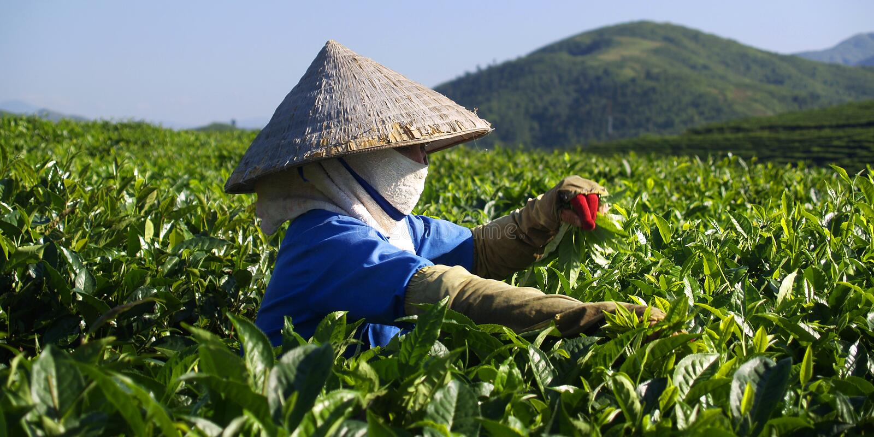 Herbacianej plantaci pracownik fotografia stock