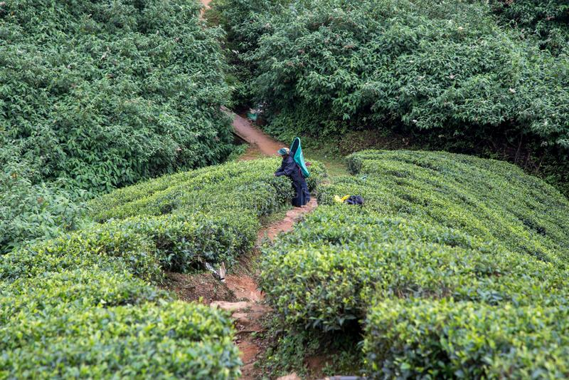 Herbacianej plantacji pracownik w Nuwara Eliya, Sri Lanka obraz stock