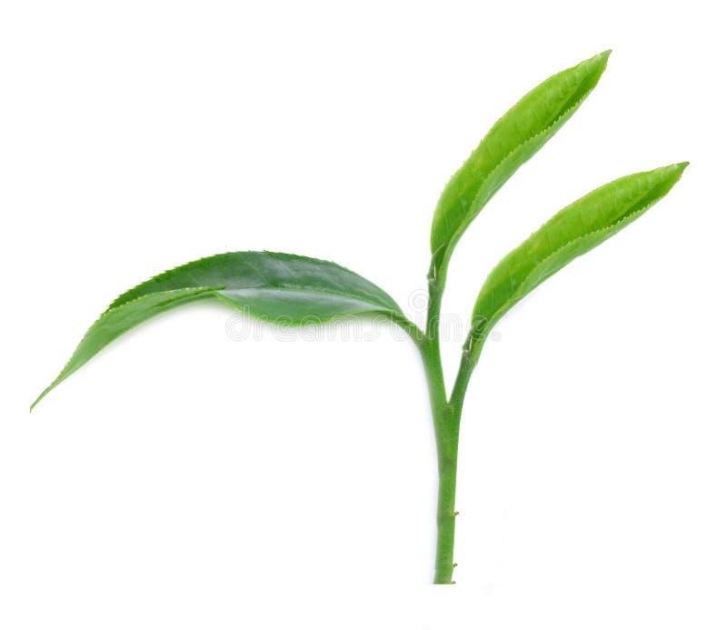 Download Herbaciani Liście Odizolowywający Z Białym Tłem Zdjęcie Stock - Obraz złożonej z naturalny, gałąź: 57657048