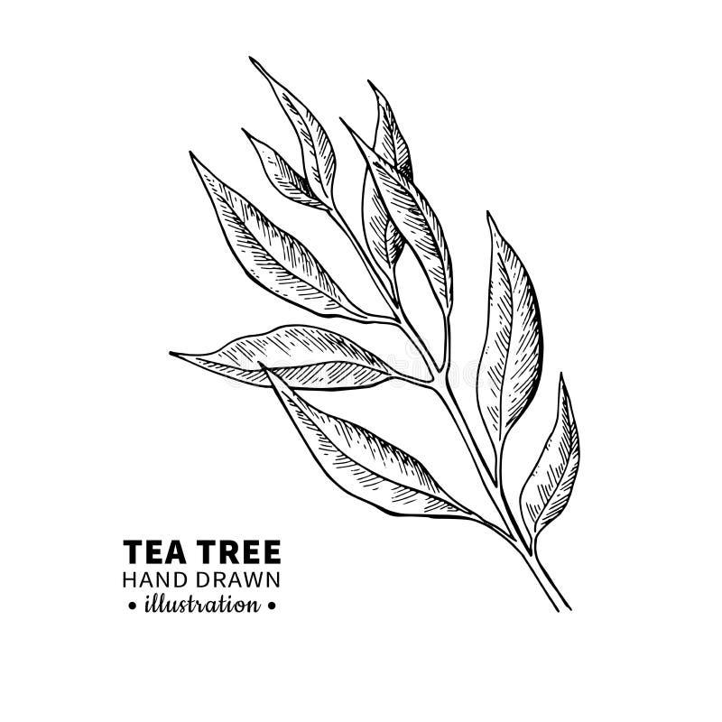 Herbaciany drzewny wektorowy rysunek Odosobniona rocznik ilustracja medyczna roślina opuszcza na gałąź royalty ilustracja