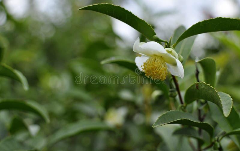 Herbaciany kwiat obraz royalty free