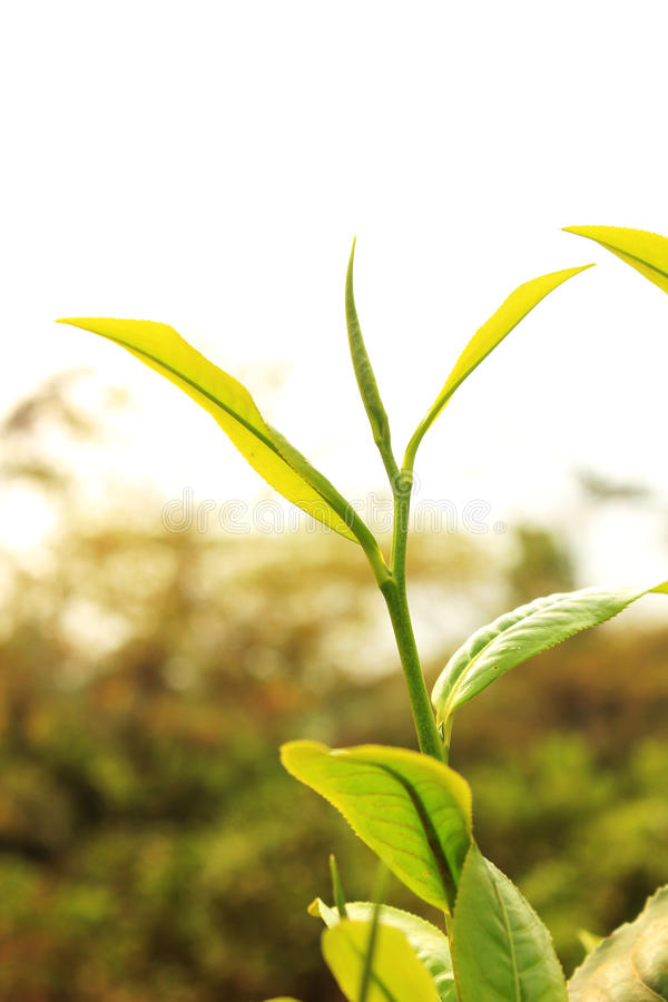 herbaciany liść zdjęcie stock