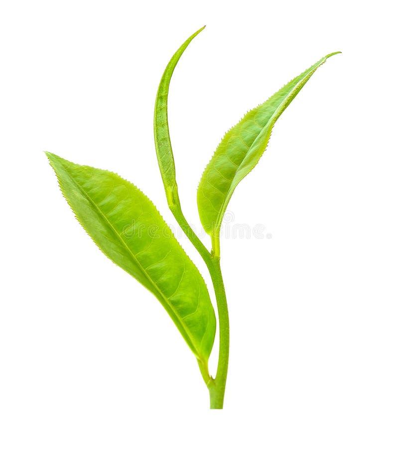 Herbaciany liść odizolowywający na białym tle obrazy stock