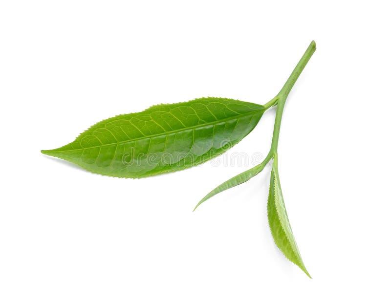 Herbaciany liść odizolowywający na białym tle zdjęcia royalty free