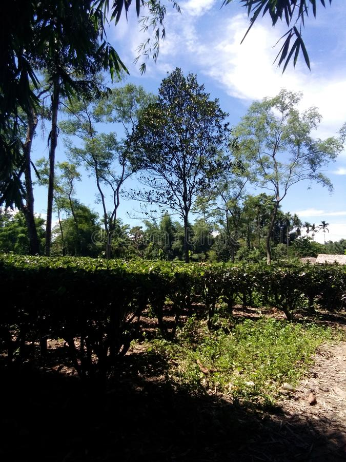 Herbaciany ogród Assam zdjęcia stock