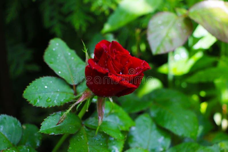 Herbaciany ogród różany w Białoruś w świetle słonecznym zdjęcie stock