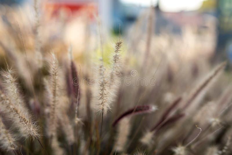 Herbaje amarillo de la hierba del pasto de la hierba herboso imagenes de archivo