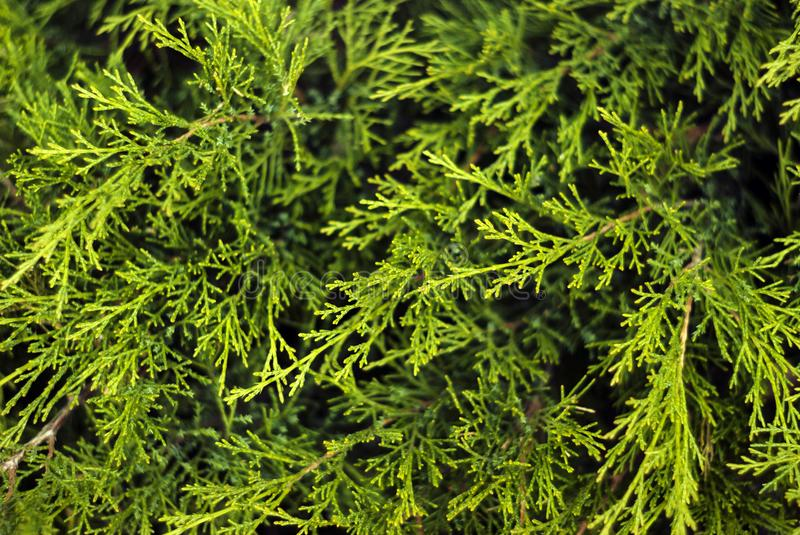 Herbal background - twigs of thuja. Floral background - green soft coniferous twigs of live thuja stock photo