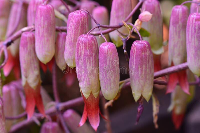 Herbal Kalanchoe flowers stock image