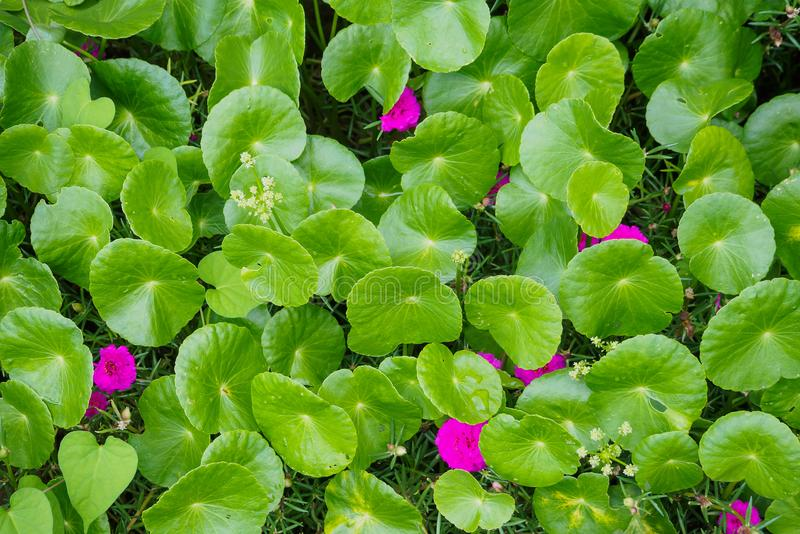 Herbal medicine leaves of Centella asiatica royalty free stock photo