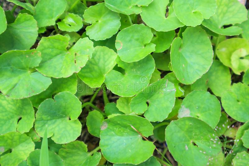 Herbal medicine leaves of Centella asiatica royalty free stock photos