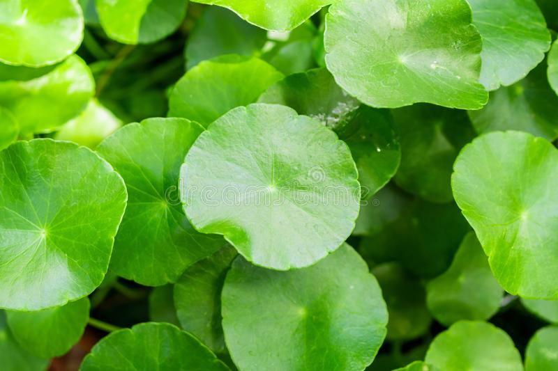 Herbal medicine leaves nature background of Centella asiatica stock images