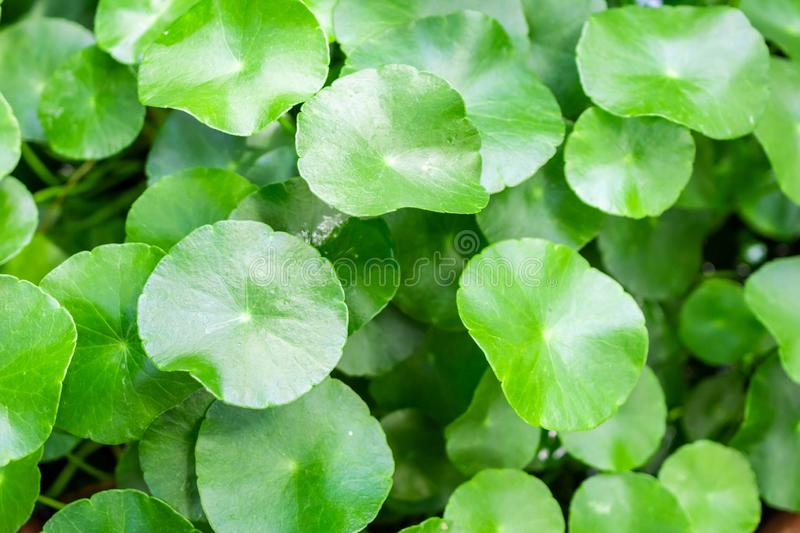 Herbal medicine leaves nature background of Centella asiatica royalty free stock images
