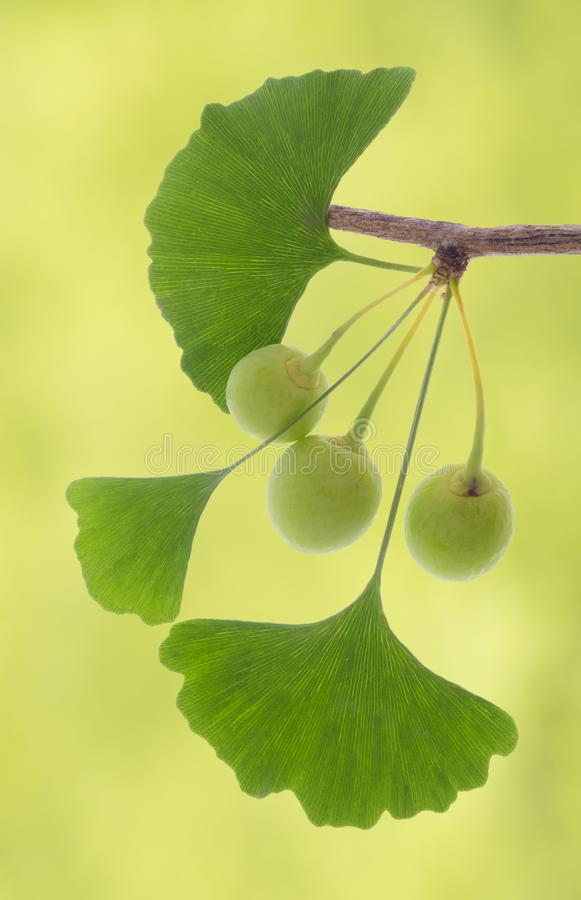 Herbal plant ginkgo. Isolated leaves of ginkgo tree used for alternative medicine royalty free stock photo