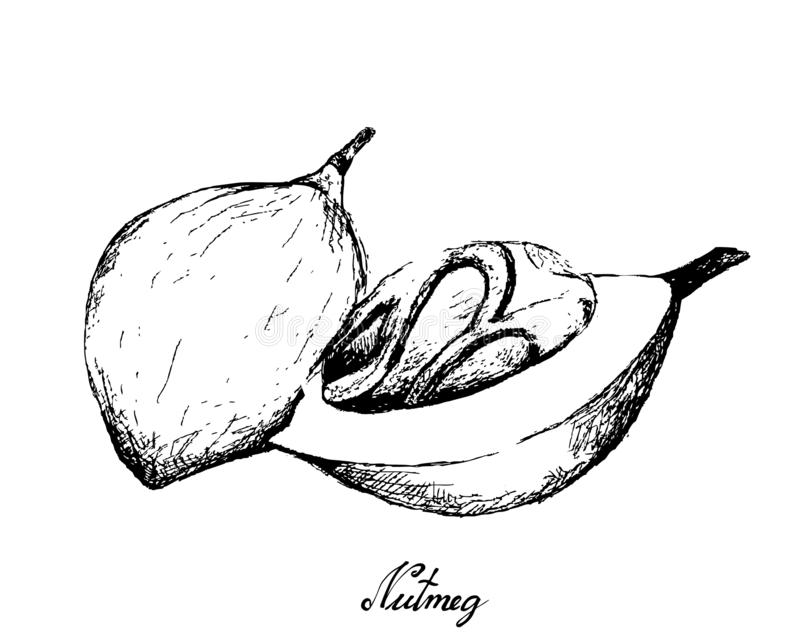 Hand Drawn of Fresh The Nutmeg Fruits. Herbal Plants, Hand Drawn Illustration of Fresh Nutmeg or Myristica Fragrans Fruits Used for Seasoning in Cooking royalty free illustration