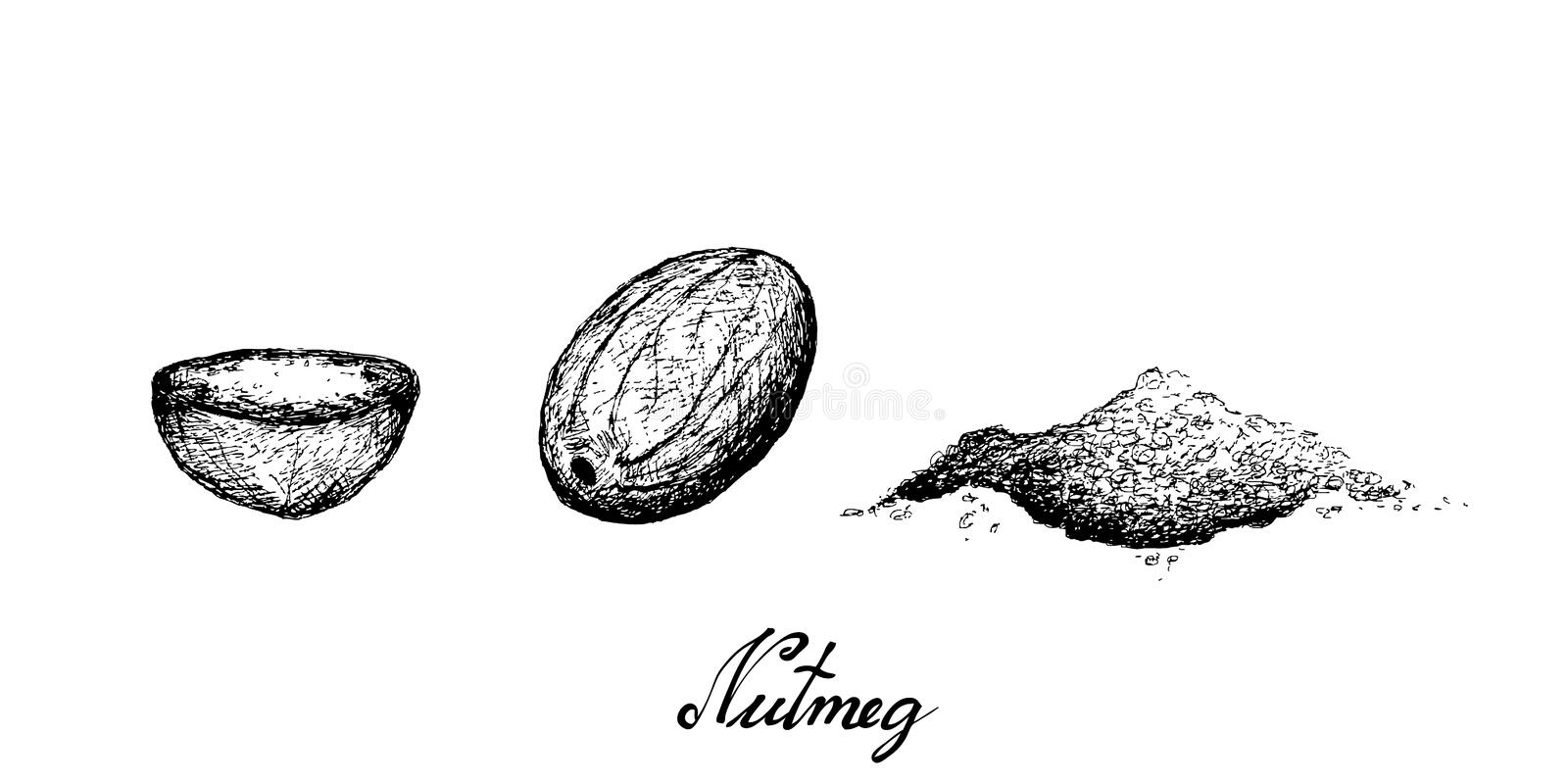 Hand Drawn of Fresh The Nutmeg Fruits. Herbal Plants, Hand Drawn Illustration of Fresh Nutmeg or Myristica Fragrans Fruits Used for Seasoning in Cooking stock illustration