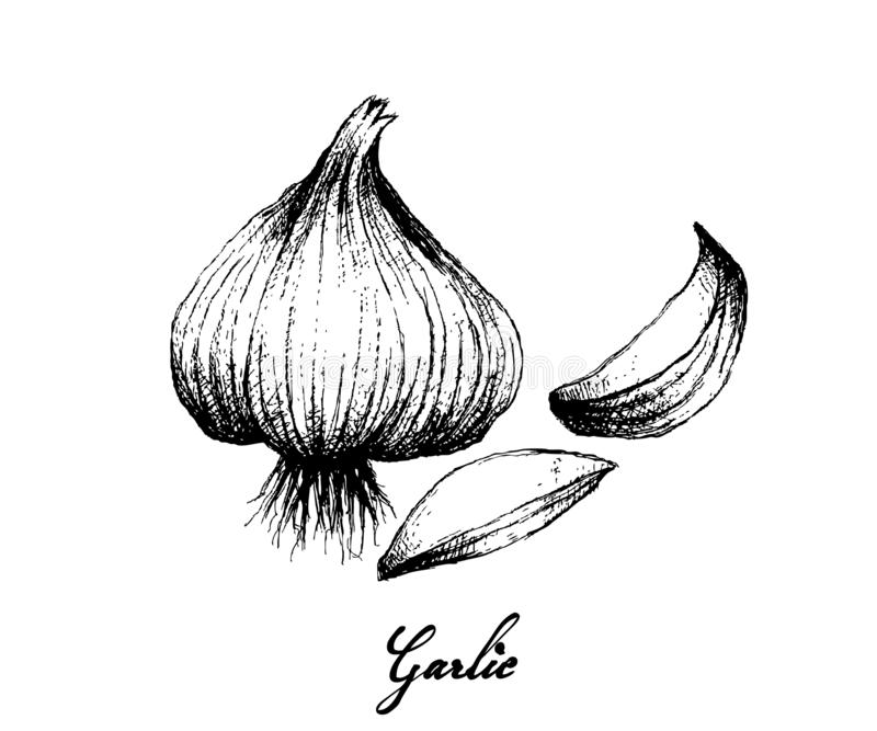 Hand Drawn of Garlic on White Background. Herbal Plants, Illustration of Hand Drawn Sketch of Dried Garlic Bulb Used for Seasoning in Cooking. Isolated on White royalty free illustration