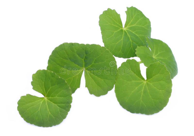 Herbal Thankuni leaves stock photography