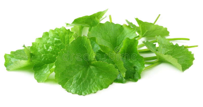 Herbal thankuni leaves royalty free stock images