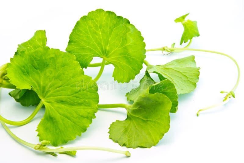 Herbal Thankuni leaves royalty free stock photo