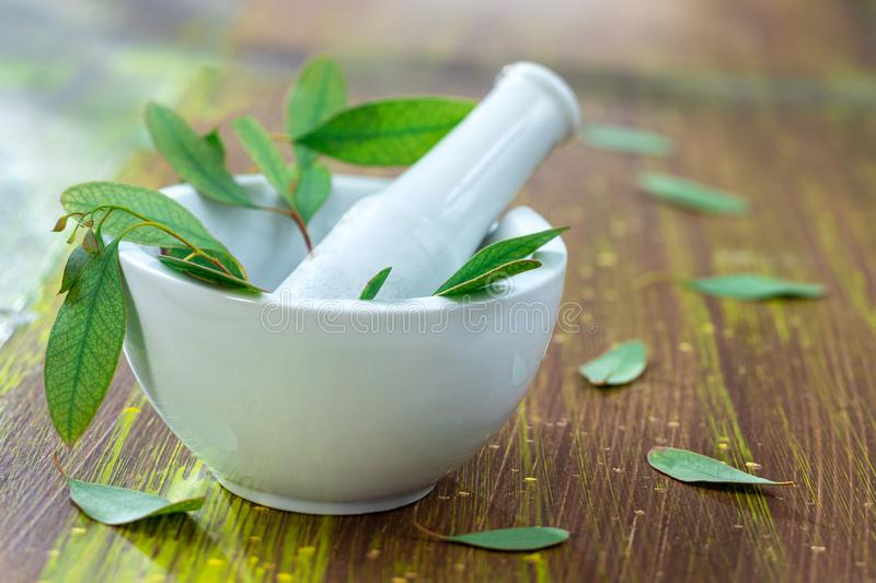 Herbal therapy: Eucalyptus essential oil. Plant, photo royalty free stock image