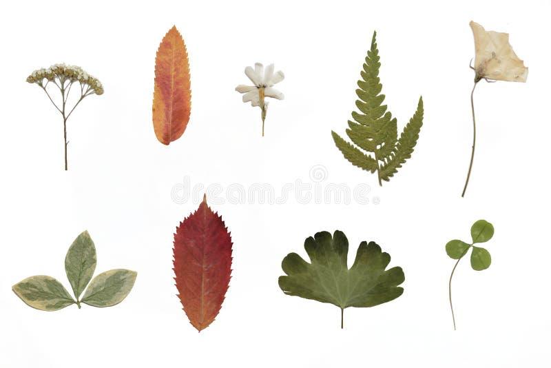 Herbario Flores secadas aisladas foto de archivo