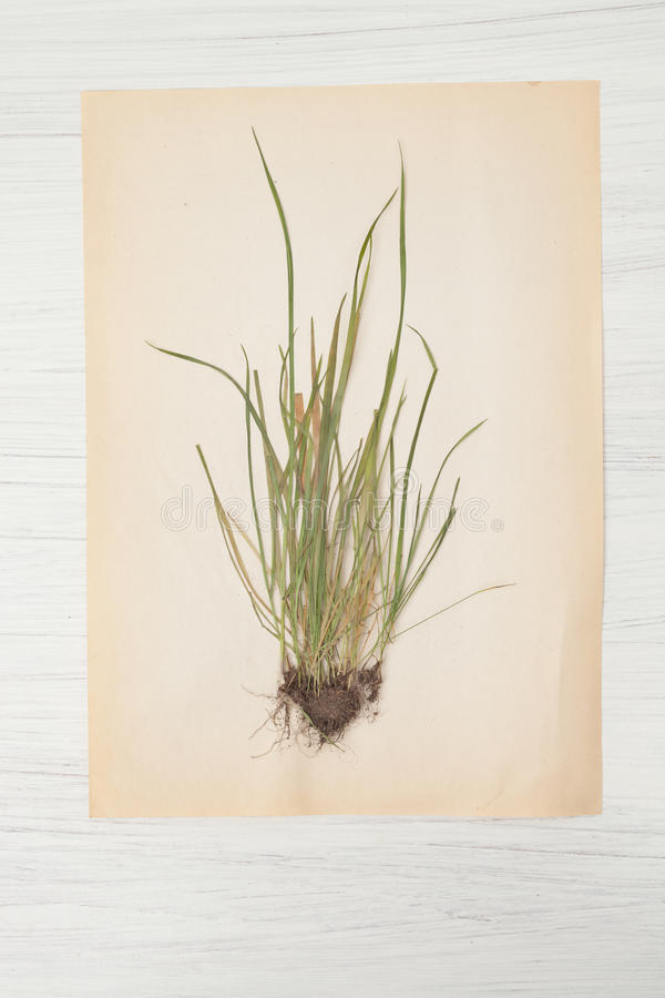 Herbarium of flowers and grasses,wheatgrass, wheat grass, couch. Dried herbs and dried flowers for making herbarium, Botanical illustration royalty free stock photography