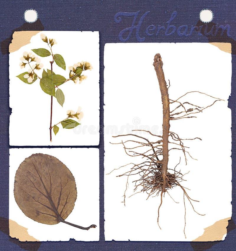 Herbarium plant details. Herbarium set constituent parts of the plant: root, leaf, twig, flower isolated stock images