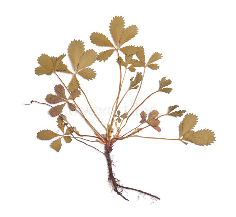 Herbarium of Potentilla reptans pressed plant isolated on a whit. E background royalty free stock images