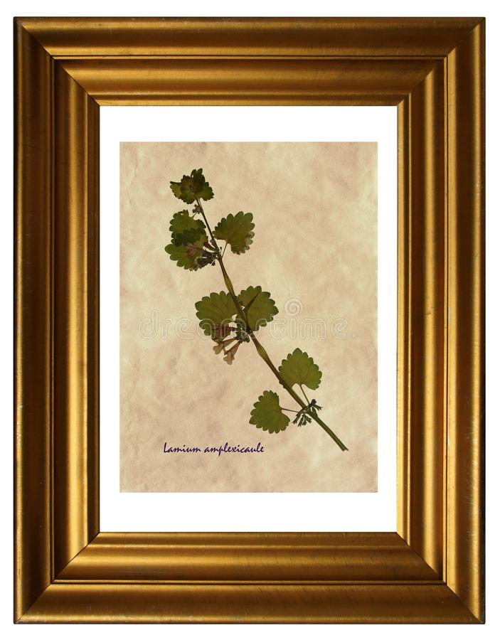 Pressed and dried flowers of spotted dead-nettle. Herbarium from pressed and dried flower of spotted dead-nettle Lamium amplexicaule in the frame stock photography