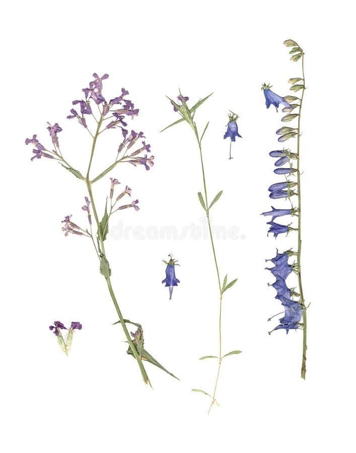 Herbarium Samenstelling van gedrukt en droog gras met blauwe bloemen op witte achtergrond royalty-vrije stock afbeelding