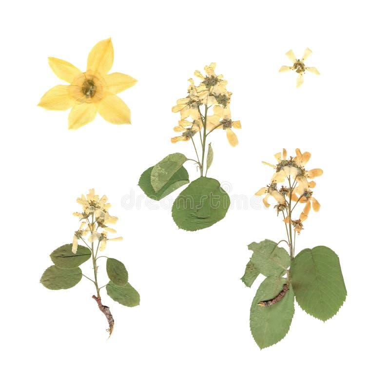 Herbarium Samenstelling van gedrukt en droog gras met blauwe bloemen op witte achtergrond royalty-vrije stock foto's