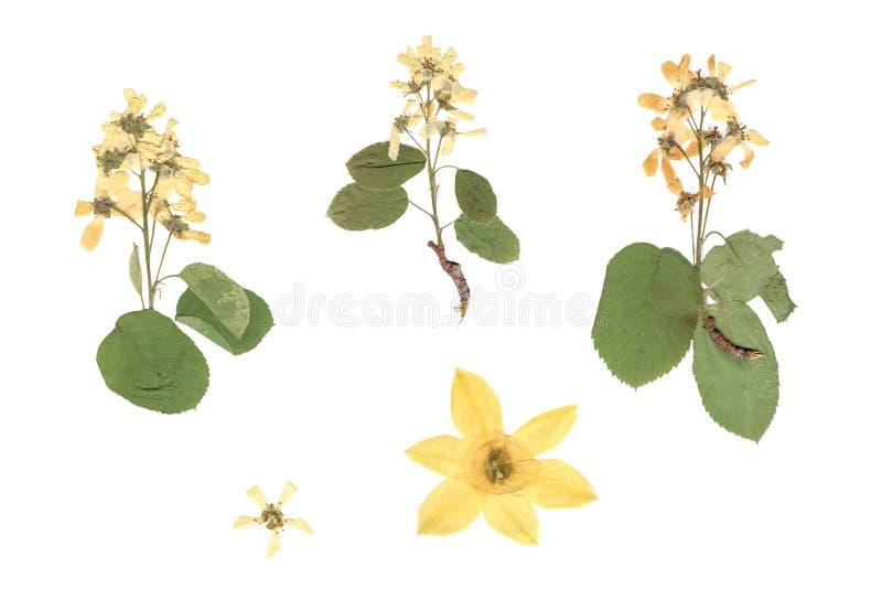 Herbarium Samenstelling van gedrukt en droog gras met blauwe bloemen op witte achtergrond stock afbeelding