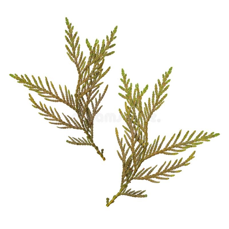 Herbarium van droge en gedrukte die spartakken op witte achtergrond worden geïsoleerd Mening van twee kanten royalty-vrije stock afbeelding