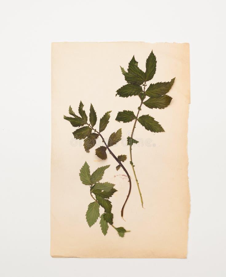Herbarium van droge takken van framboos bij het oude blad van document royalty-vrije stock afbeelding
