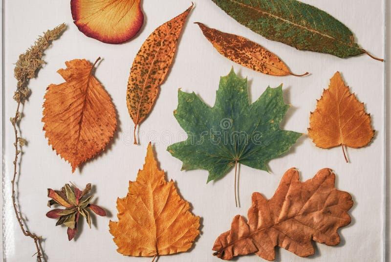 Herbarium von den trockenen Blättern der Eiche, der Birke, des Ahorns, der Weide, der Espe und des Wermuts stockfotografie