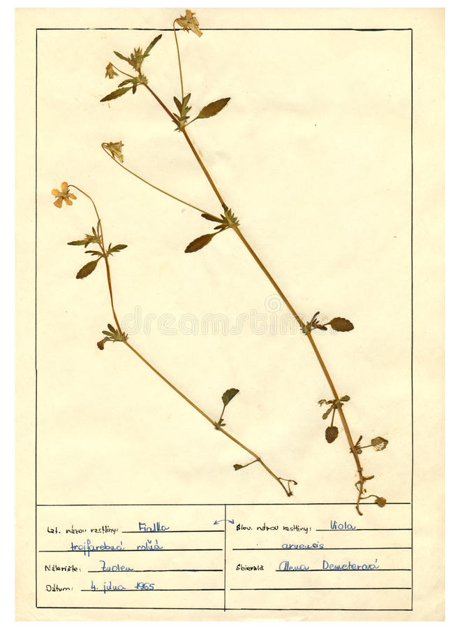 Herbariumblatt - 2/30 stockfoto